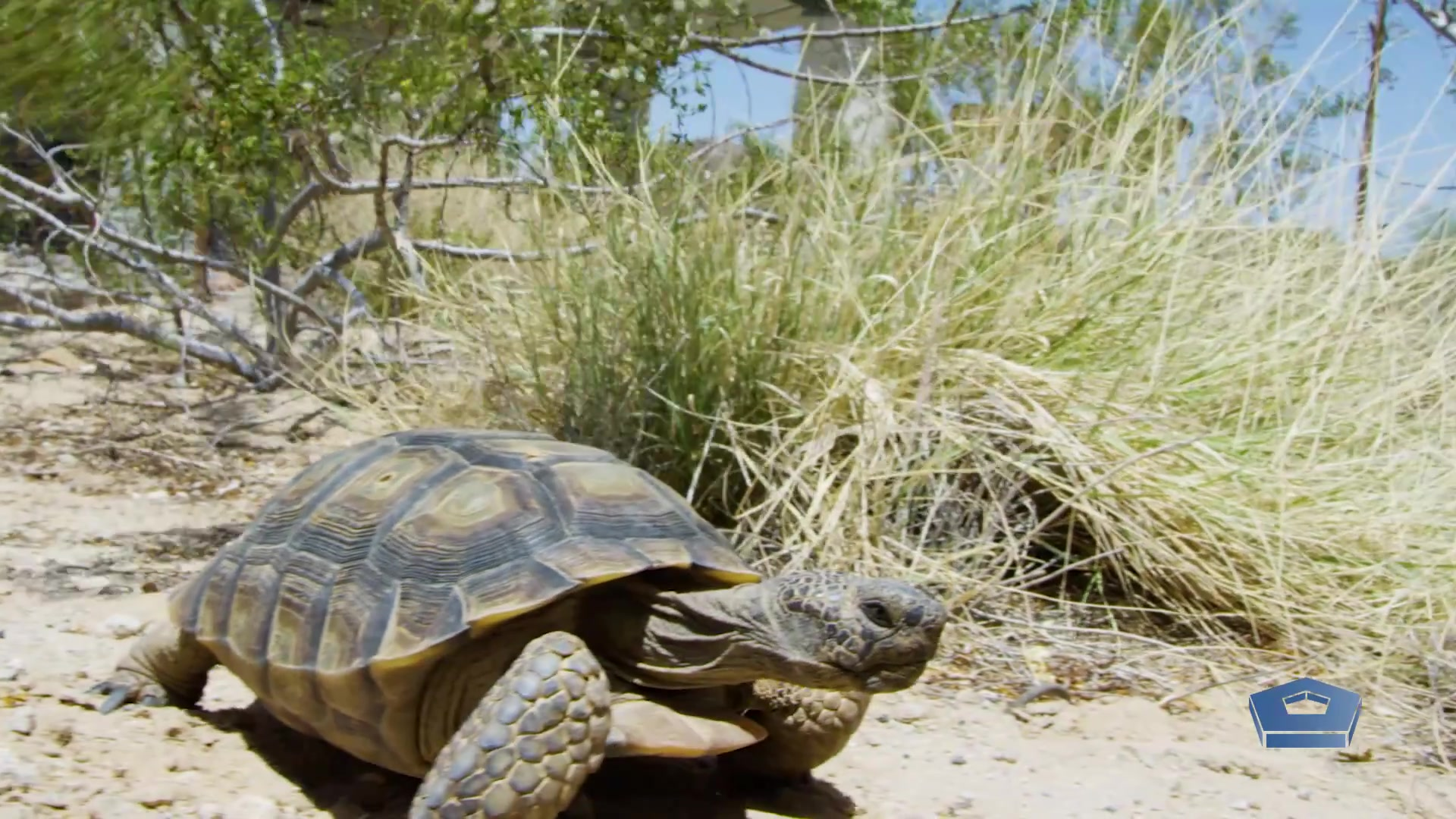 A tortoise walks along the desert next to branches and grass.