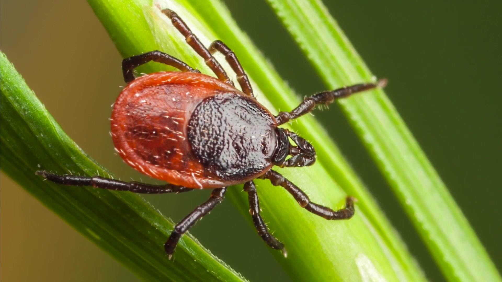 Capt. Megan Heineman, the chief of Entomology at Public Health Command Europe, discusses ticks and tricks for tick prevention.