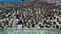 Double-crested cormorants nest on East Sand Island