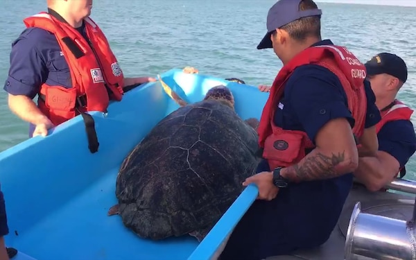 A Coast Guard Station Key West 45-foot Response Boat—Medium boatcrew, and personnel from the Turtle Hospital, released Drifter, a 150-pound Loggerhead Sea Turtle, back to the wild near Key West, Thursday, Nov. 16, 2017.