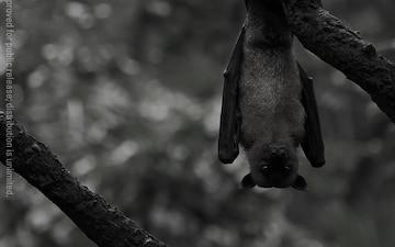 Bats Help Solve the Marburg Mystery