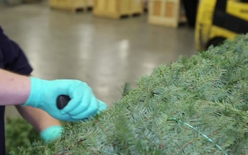 CBP Agriculture Specialist Curtis Wilson checks Christmas trees for unwanted pests.