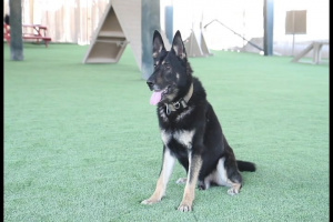 ASG-Qatar Military Working Dog Teams Enjoy New Obedience Course Turf