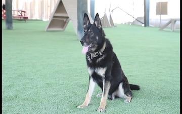 ASG-Qatar Military Working Dog Teams Enjoy New Obedience Course Turf