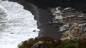 Seals and Sea Lions on Vandenberg Air Force Base's Coastline