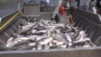 Agency demonstrates electrofishing at Barkley Dam on Cumberland River