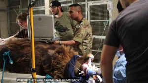 KFOR Dental and Veterinary Soldiers Help Treat Damaged Bear Tooth