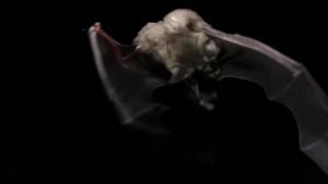 Bergheim Bat Sanctuary Rehabilitation and Ribbon Cutting Ceremony