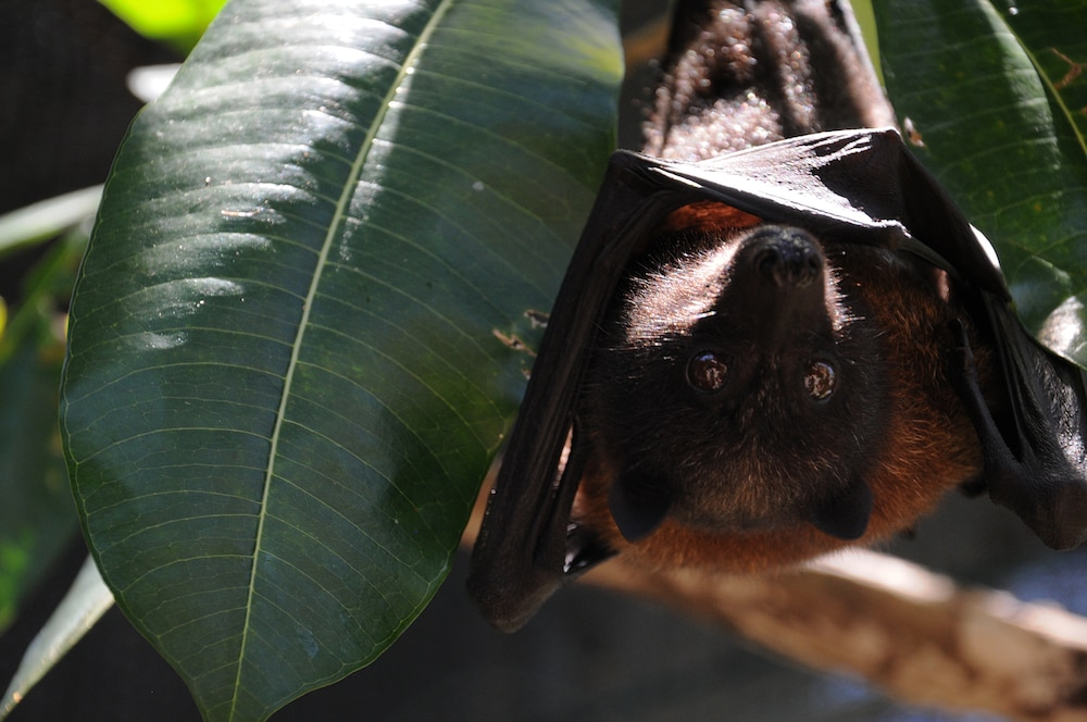 Save the fruit bats! Andersen continues conservation effort