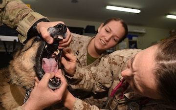 U.S. Navy medics learn lifesaving veterinary skills [Image 4 of 5]